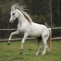 Gorgeous arabian stallion prancing on pasturage in autumn Royalty Free Stock Photos