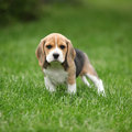 Gorgeous beagle puppy in the garden looking at you Royalty Free Stock Image