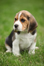 Gorgeous beagle puppy in the garden looking at you Stock Photo