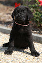 Gorgeous black labrador retriever puppy sitting on stone path Royalty Free Stock Image
