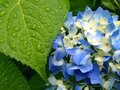 Gorgeous Blue Hydrangea & Large Leaf Covered in Raindrops Royalty Free Stock Photo