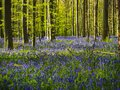Gorgeous bluebell and beech woodland, Hallerbos, Belgium Royalty Free Stock Photo