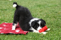 Gorgeous border collie puppy playing in the garden Royalty Free Stock Image