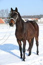 Gorgeous brown horse with white bridle in winter Royalty Free Stock Photo