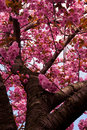Gorgeous Cherry blossoms in peak bloom Royalty Free Stock Image