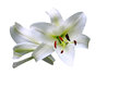 A Gorgeous of Christmas Lily Royalty Free Stock Image