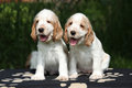 Gorgeous english cocker spaniel puppies sitting on black blanket Royalty Free Stock Photo