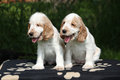 Gorgeous english cocker spaniel puppies sitting on black blanket Royalty Free Stock Photos