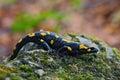 Gorgeous Fire Salamander, Salamandra salamandra, spotted amphibian on the grey stone with green moss