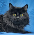 Gorgeous fluffy black cat Royalty Free Stock Photography