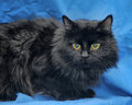 Gorgeous fluffy black cat Stock Image