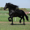 Gorgeous friesian stallion with long mane running on pasturage in spring Stock Photos