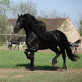 Gorgeous friesian stallion with long mane running on pasturage in spring Stock Image