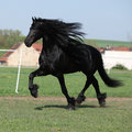 Gorgeous friesian stallion running on pasturage with long mane Stock Photos