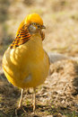 Gorgeous golden pheasant Royalty Free Stock Photography