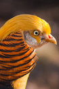 Gorgeous golden pheasant Stock Image