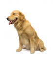 Gorgeous golden retriever isolated in white background with clipping path Royalty Free Stock Images