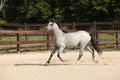 Gorgeous grey stallion running welsh mountain pony Royalty Free Stock Photos