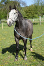 Gorgeous horse with nice halter in springs nature Royalty Free Stock Image