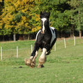 Gorgeous irish cob running on pasturage Royalty Free Stock Photo