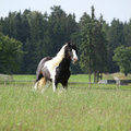 Gorgeous irish cob stallion running Royalty Free Stock Photo