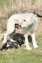 Gorgeous irish wolfhound parenting the young one with its puppy in garden Stock Photos