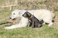 Gorgeous irish wolfhound parenting the young one with its puppy in garden Royalty Free Stock Photo