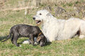 Gorgeous irish wolfhound parenting the young one with its puppy in garden Royalty Free Stock Images