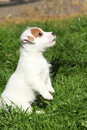 Gorgeous jack russell terrier puppy begging in the garden Royalty Free Stock Photography