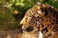 Gorgeous leopard close up shot of a Stock Photos
