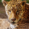 Gorgeous leopard close up shot of a Stock Photo