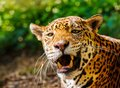 Gorgeous leopard close up shot of a roaring Royalty Free Stock Images