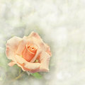 Gorgeous light orange rose on a dreamy background in square format with copy space Royalty Free Stock Photos