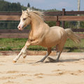 Gorgeous palomino stallion running on the sand Royalty Free Stock Images