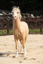 Gorgeous palomino stallion running welsh mountain pony Stock Image