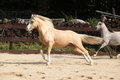 Gorgeous palomino stallion running welsh mountain pony Stock Images