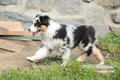 Gorgeous puppy running of australian shepher in front of stone wall Royalty Free Stock Photo