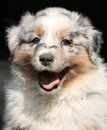 Gorgeous puppy smiling at you of australian shepherd Royalty Free Stock Image