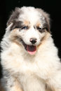 Gorgeous puppy smiling at you of australian shepherd Royalty Free Stock Photos