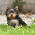 Gorgeous puppy of Yorkshire terrier in the garden Royalty Free Stock Photo