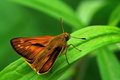 Gorgeous skipper Royalty Free Stock Images