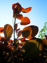Sun Dappled Red Leaves Royalty Free Stock Photo
