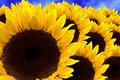Gorgeous sunflowers Royalty Free Stock Photo