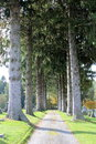 Gorgeous tall pines at the cemetary Stock Images