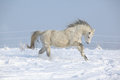 Gorgeous welsh mountain pony running in winter on snow Royalty Free Stock Image