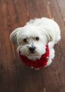 Gorgeous white maltese silky terrier with a red christmas collar Royalty Free Stock Photo