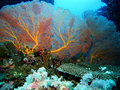 Gorgonian Fans Royalty Free Stock Images