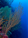 Gorgonian I Stock Photography