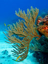Gorgonian II Royalty Free Stock Image