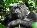 Gorilla in Africa Stock Images